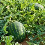 Πως Καλλιεργώ Καρπούζι - Οδηγίες & Συμβουλές