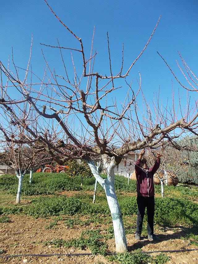 κλάδεμα δέντρων τον Ιανουάριο