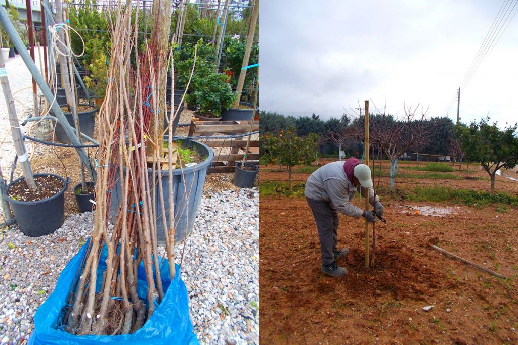 Πως Φυτεύω Γυμνόριζα Δέντρα