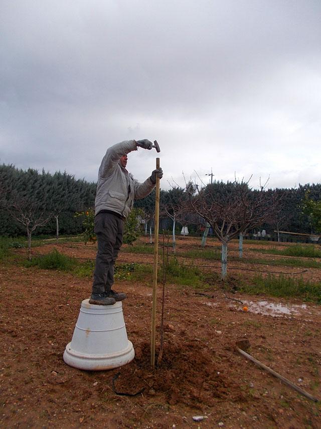 Καρφώνουμε έναν πάσσαλο στερέωσης δίπλα στο δέντρο