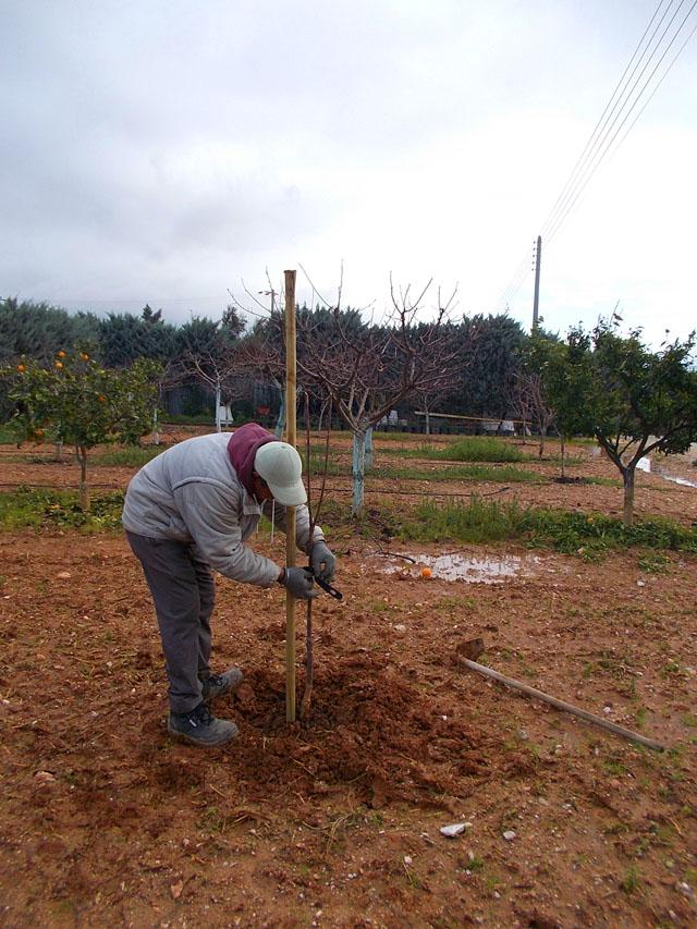 Στερεώνουμε το δέντρο στον πάσσαλο