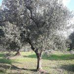 Πως Γίνεται η Εκρίζωση και Μεταφύτευση Μεγάλων Δέντρων Ελιάς;