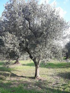 Δέντρο Ελιάς - Ελαιόδεντρο