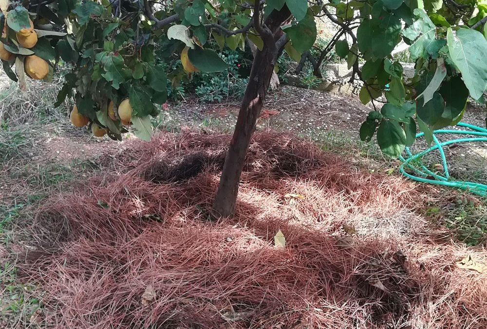 Πευκοβελόνες στον κήπο. 6 χρήσεις