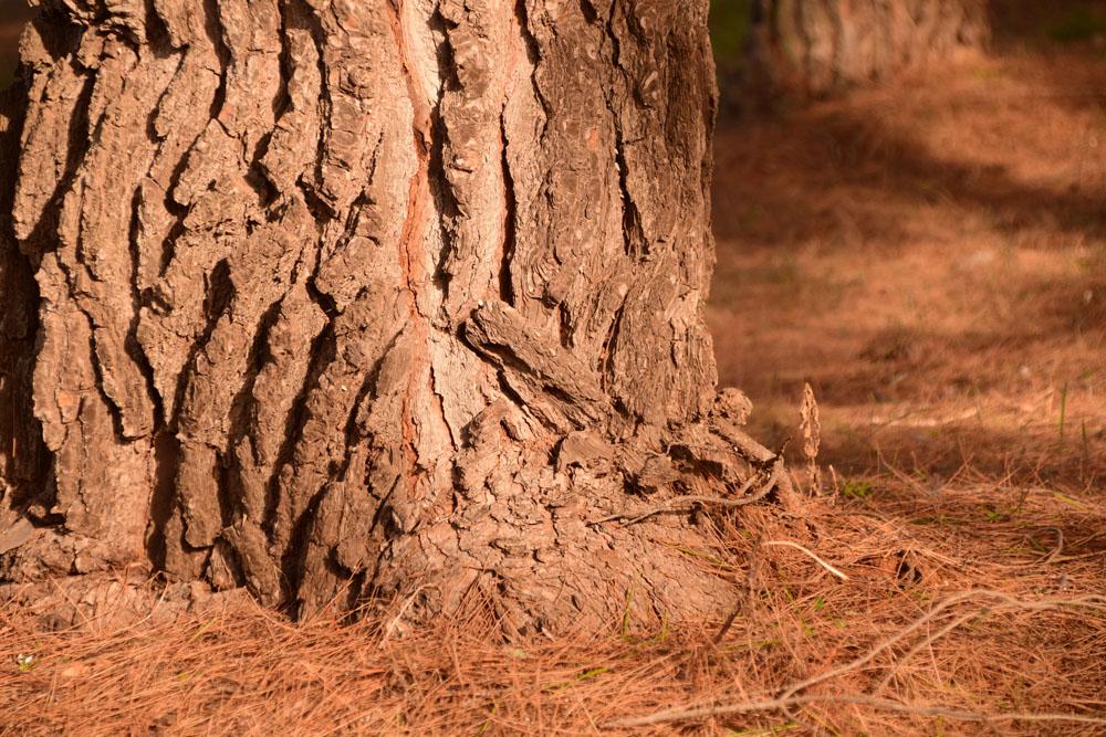 Πεύκο και πευκοβελόνες στο δάσος