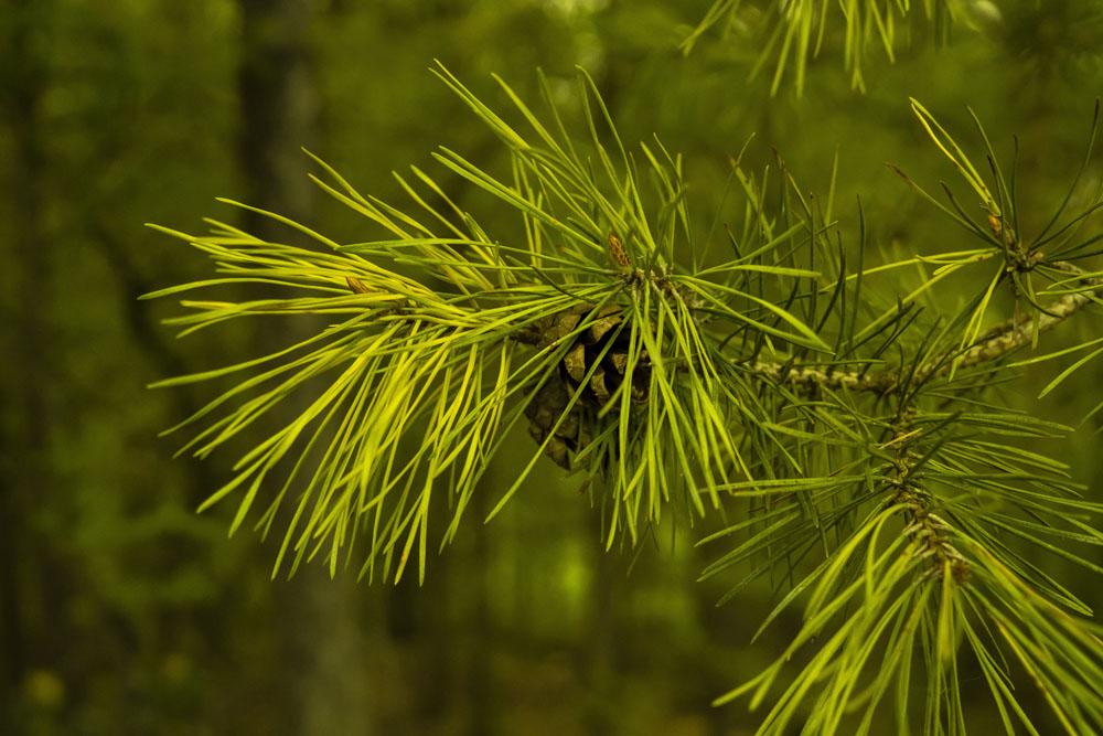 Φύλλα Πεύκου