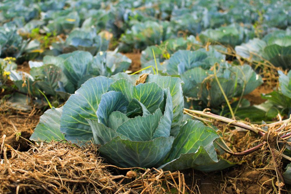 Πευκοβελόνες ανάμεσα στα κηπευτικά στον λαχανόκηπο