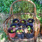 Λαχανικά σε γλάστρες. Ντομάτες, πιπεριές, κολοκύθια, αγγούρια, μαρούλια