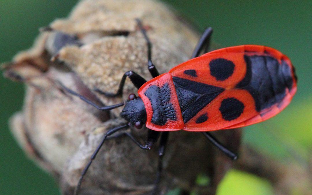 Πως οι αμερικάνικες εφημερίδες βοήθησαν στην ανακάλυψη της επίδρασης των ορμονών στα έντομα Pyrrhocoris apterus