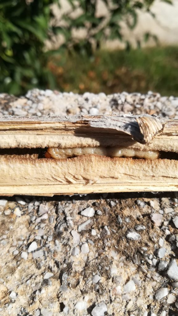 Σκουλήκι μέσα σε ξερό κορμό αγκινάρας