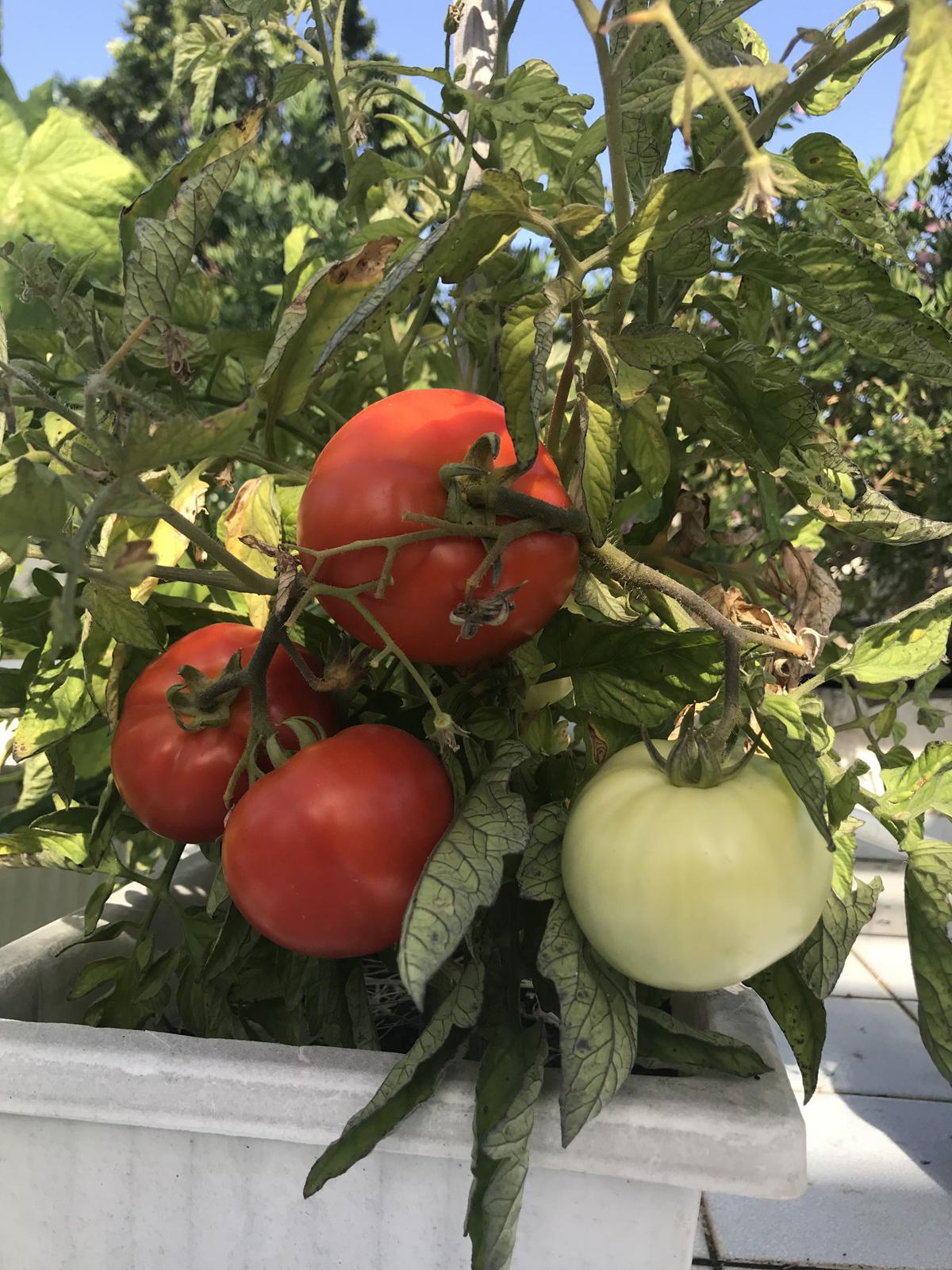 ντομάτες με λίπανση από κομπόστ