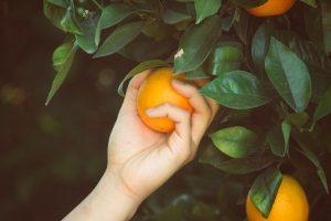 Πόσα χρόνια ζουν τα δέντρα - Πορτοκαλιά