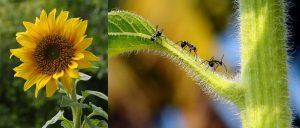 Πρόβλημα με Μυρμήγκια Ηλίανθος