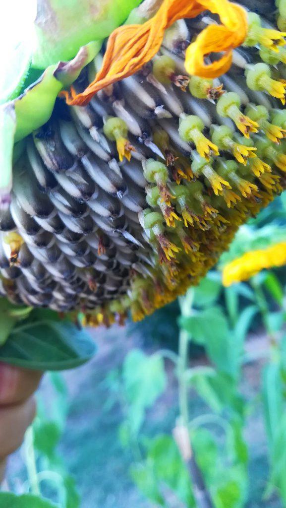 Ηλίανθος ('Ηλιος), ηλιόσπορος, άνθη