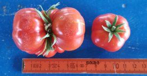 Ντοματάκια Σαντορίνης - Διαφορά μεγέθους