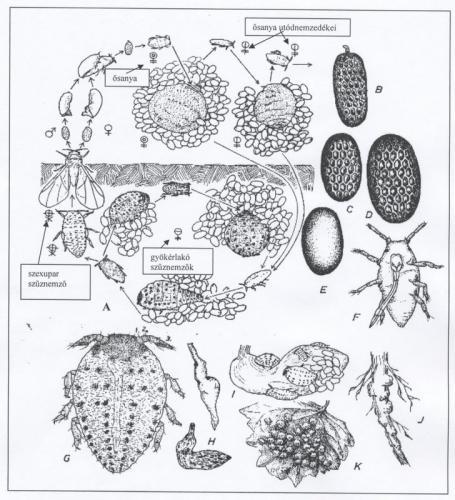 dis-fylloxira-08
