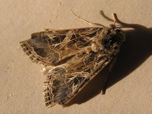 dis-kampies-lepidopteron1-03