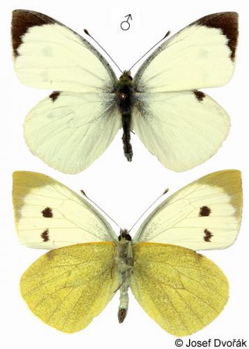 dis-kampies-lepidopteron2-04