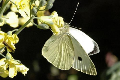 dis-kampies-lepidopteron2-07
