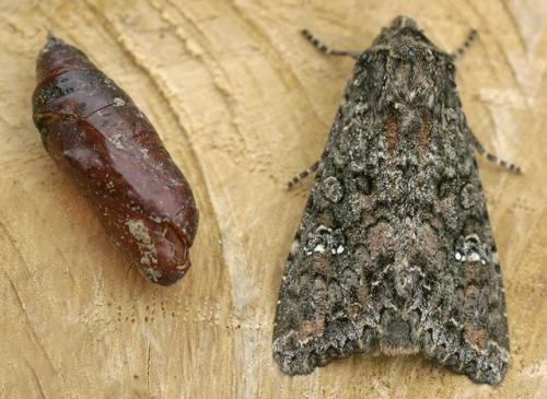 dis-kampies-lepidopteron2-08