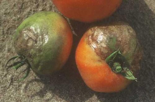 dis-peronosporos-tomatas-03