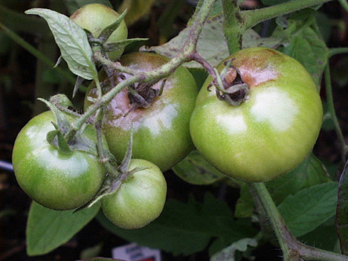 dis-peronosporos-tomatas-07
