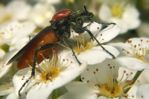 dis-pronymfes-bibionidae-04