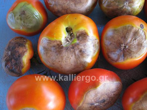 tomato-blossom-end-rot-01