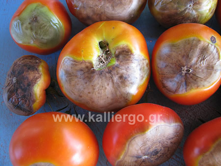 tomato-blossom-end-rot-03